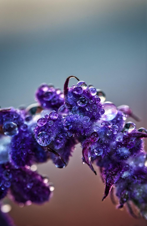 purple flower buds in macro lens