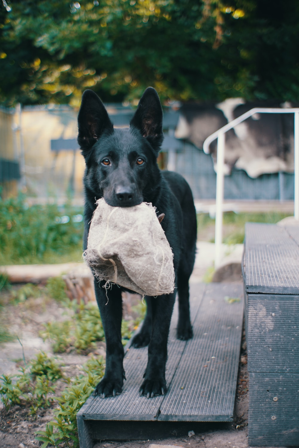 black short coated dog with white and brown textile on black wooden bench