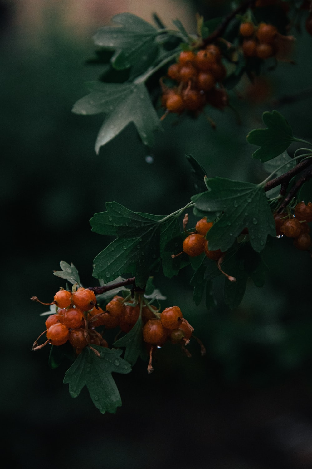 green leaves with orange fruits