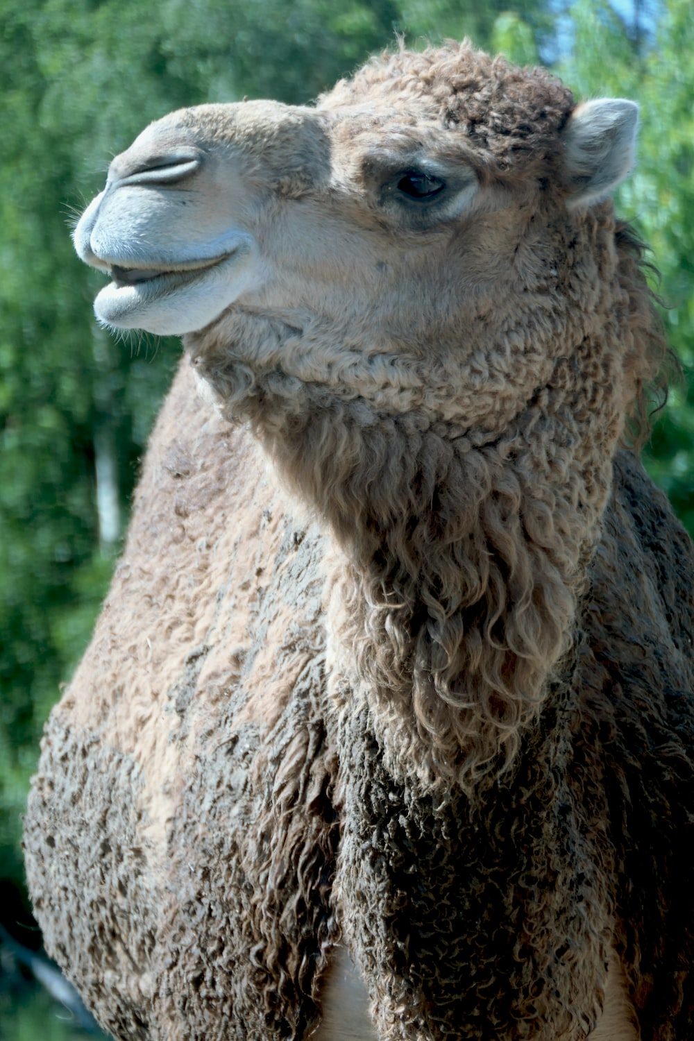 brown camel in close up photography during daytime