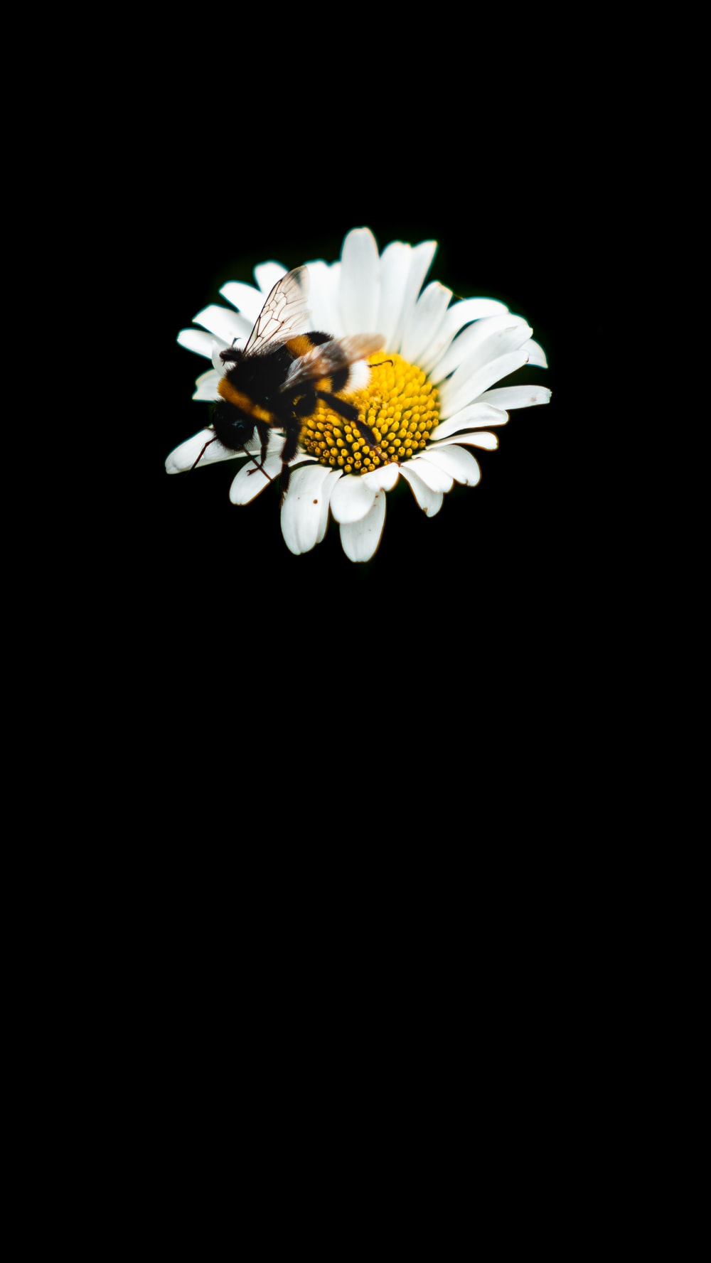 black and yellow butterfly perched on white daisy flower