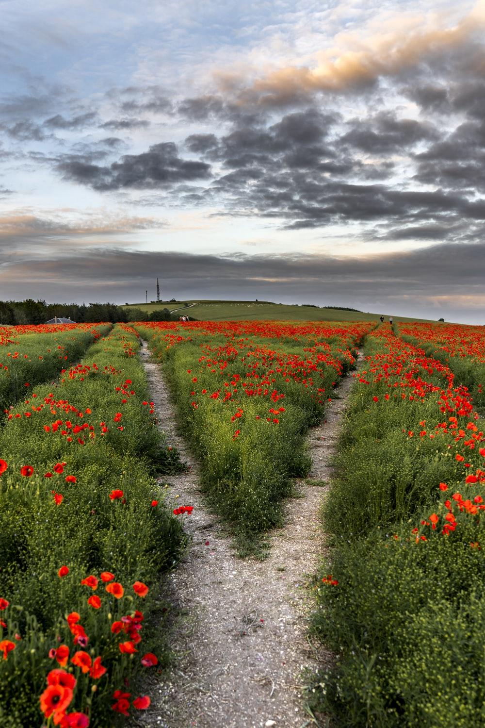 red flower field under gray clouds during daytime