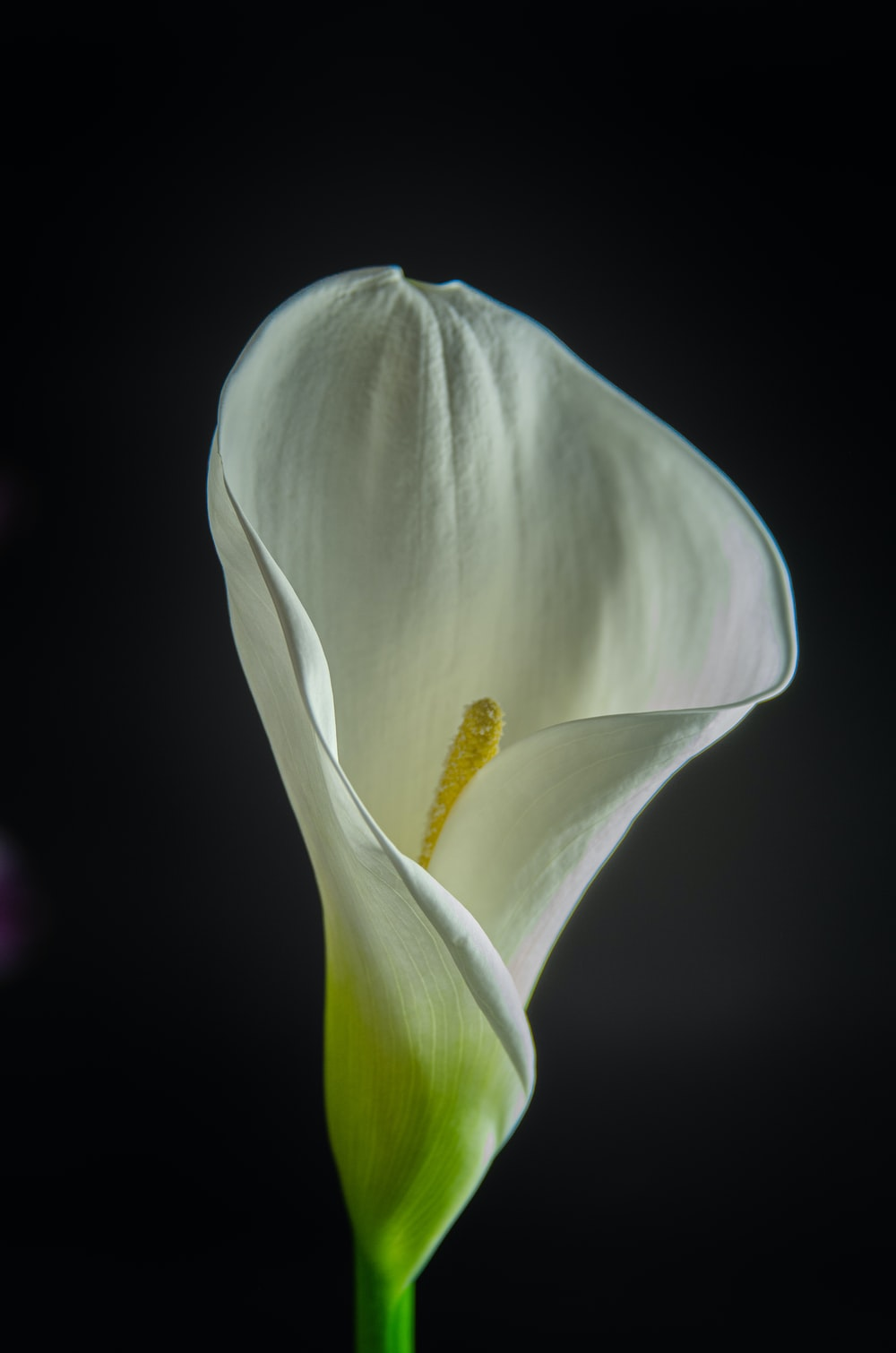 white tulip in bloom close up photo