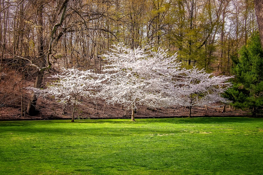 white leaf trees on green grass field during daytime