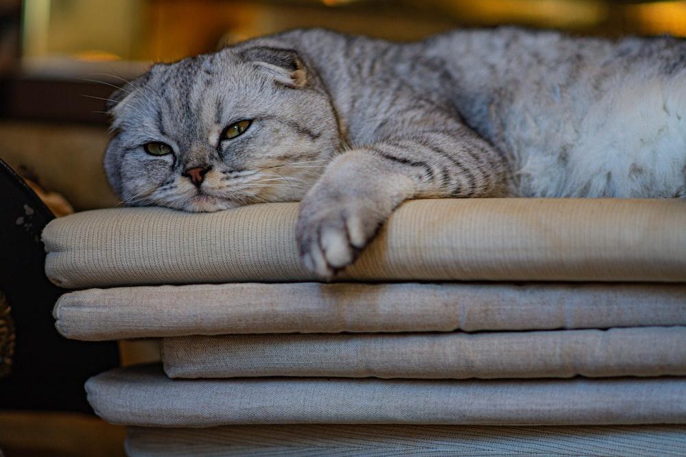 russian blue cat on brown wicker chair