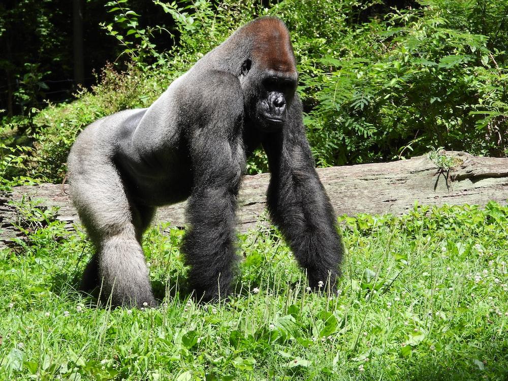 black gorilla on green grass during daytime