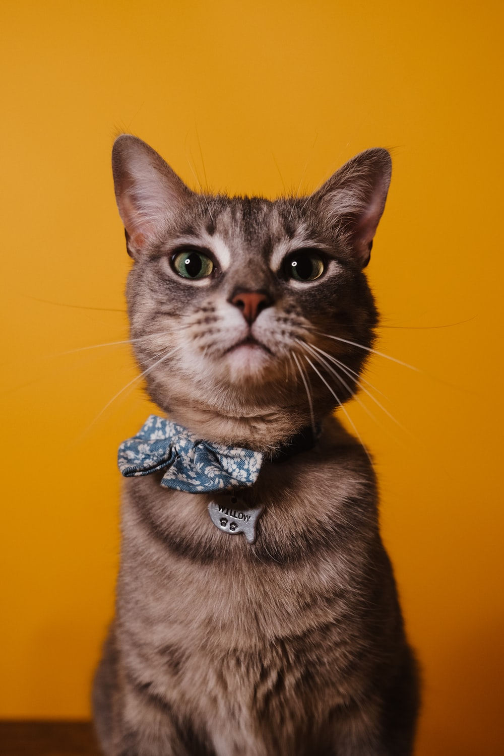brown tabby cat with blue ribbon