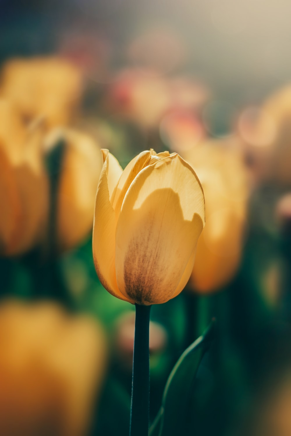 yellow tulip in bloom during daytime