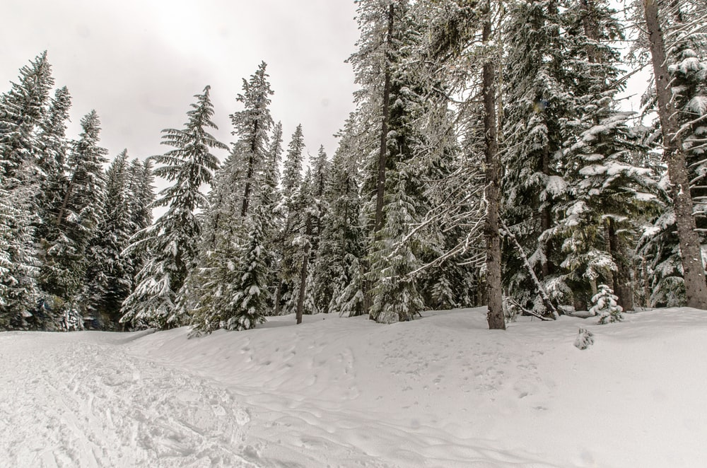 green pine trees on snow covered ground during daytime