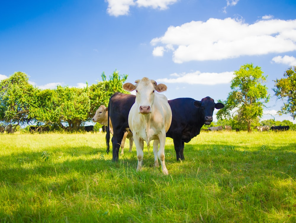 black and white cow on green grass field under blue sky during daytime