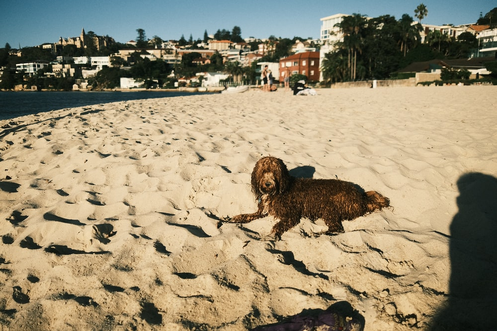 brown long coated small dog on white sand during daytime