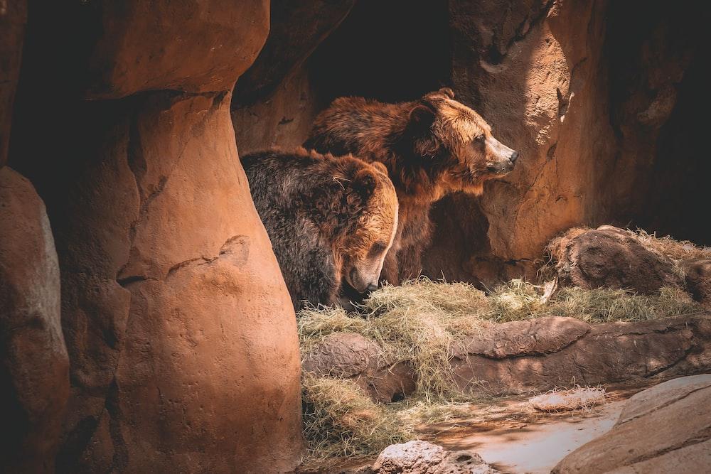 brown bear lying on rock during daytime