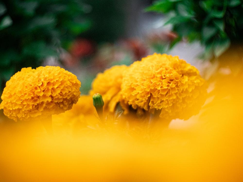 yellow flower in tilt shift lens