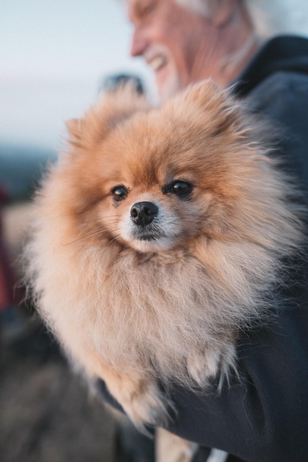 brown pomeranian puppy on focus photo