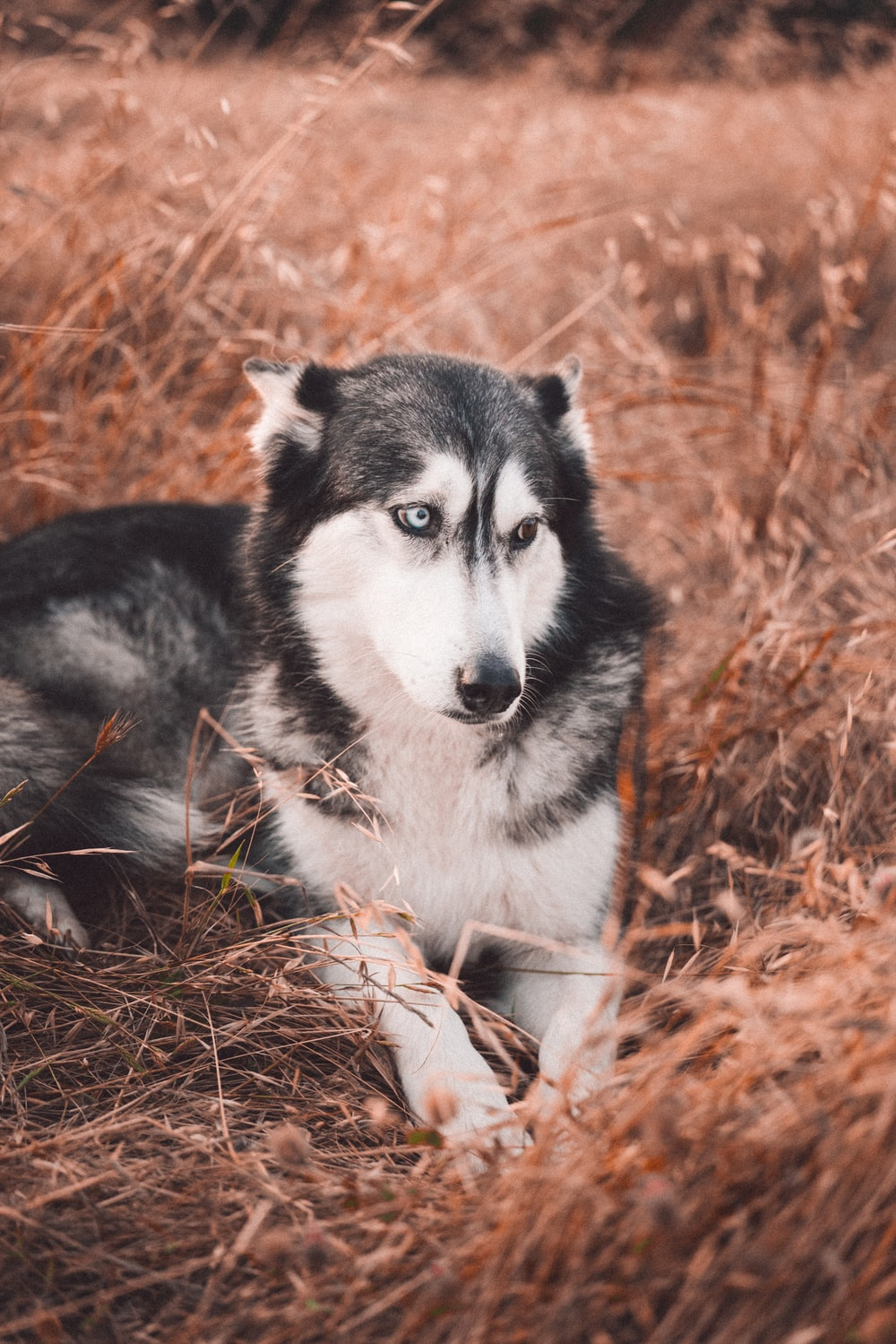 black and white siberian husky puppy on brown grass field during daytime