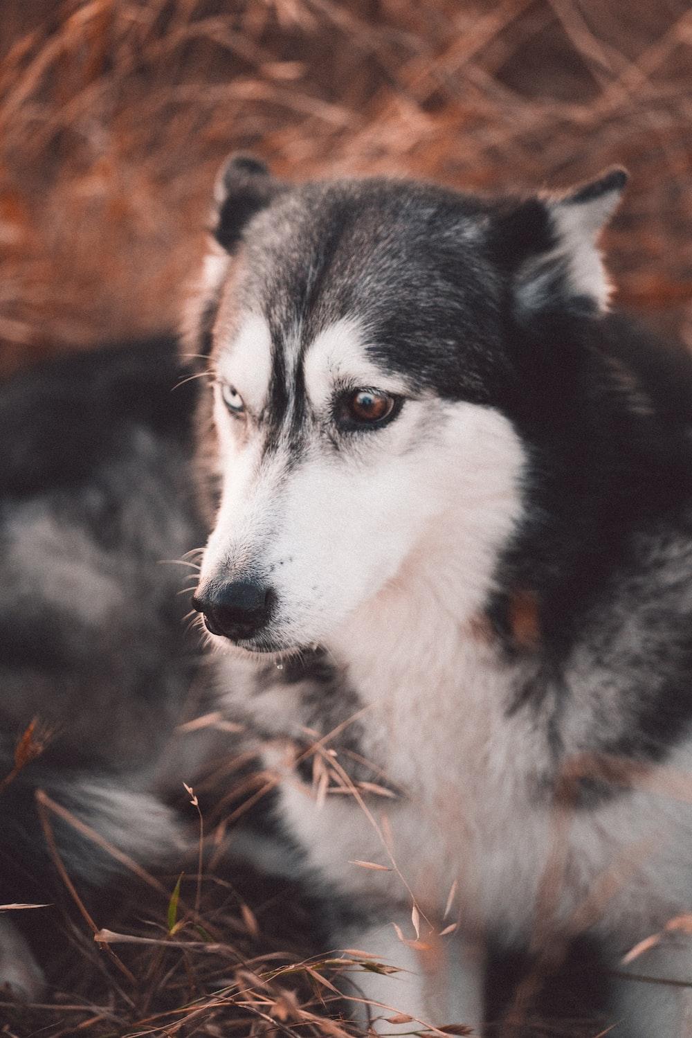 black and white siberian husky puppy
