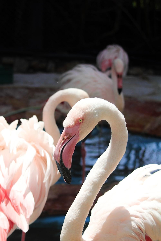 pink flamingos on water during daytime