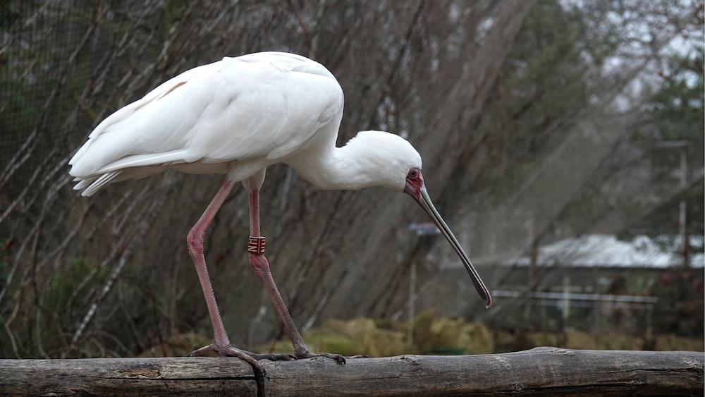 white long beak bird on brown wooden fence