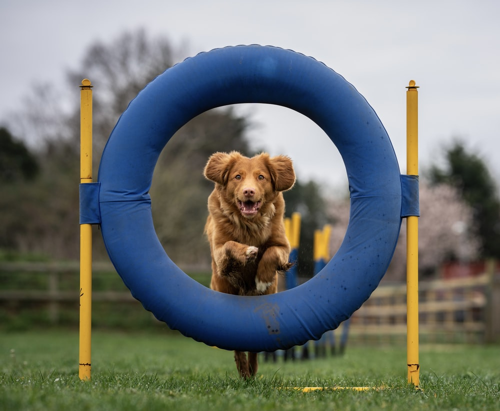 brown short coated dog on blue round frame