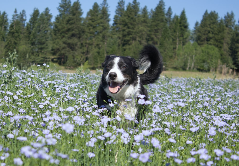 black and white border collie puppy on purple flower field during daytime