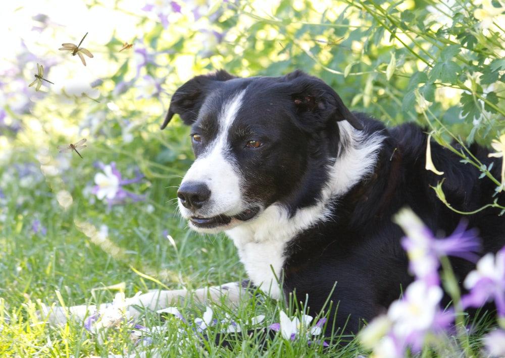 black and white border collie puppy sitting on green grass field during daytime