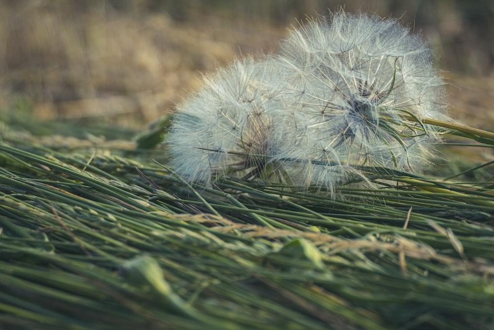 white dandelion on green grass