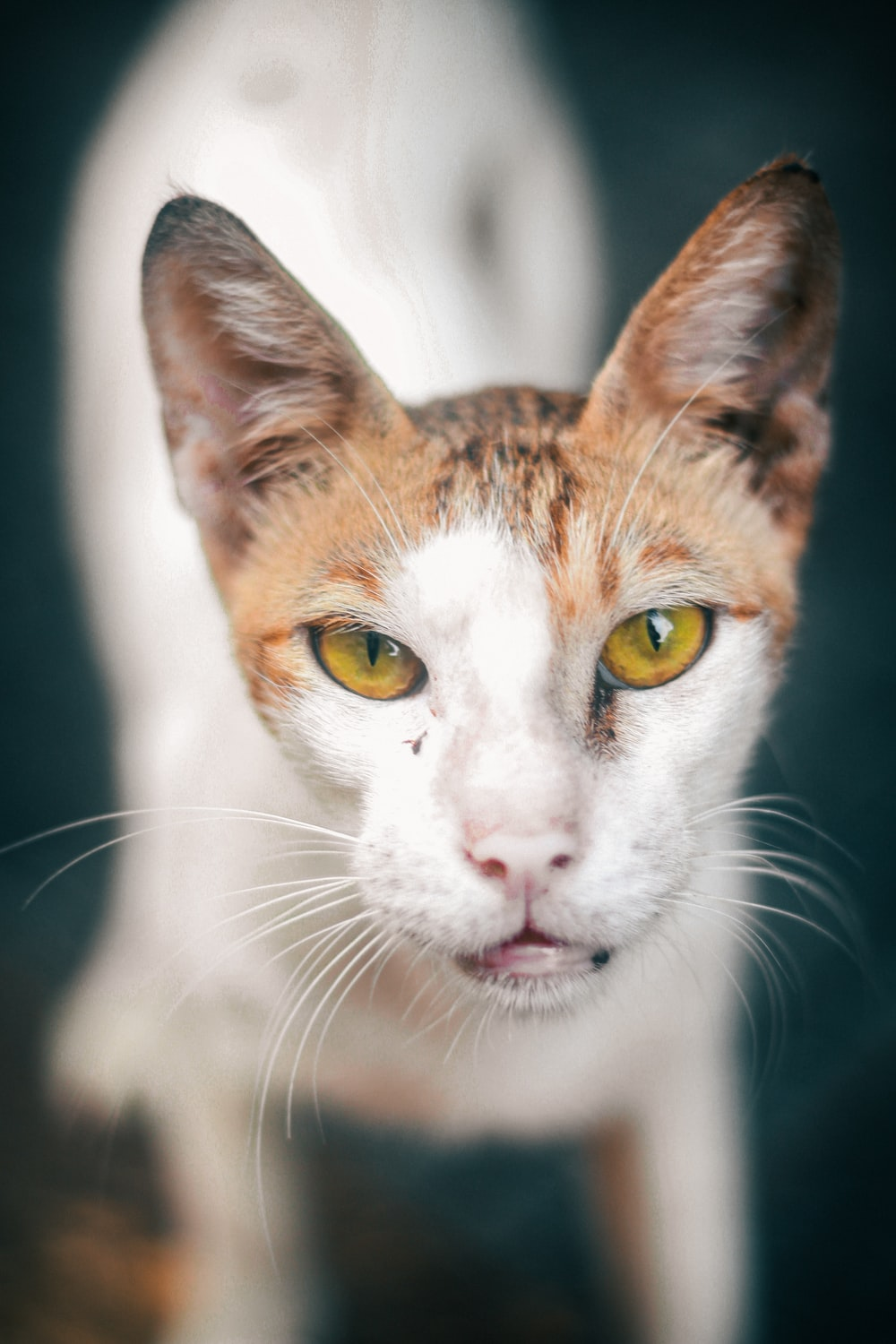 brown and white cat with yellow eyes