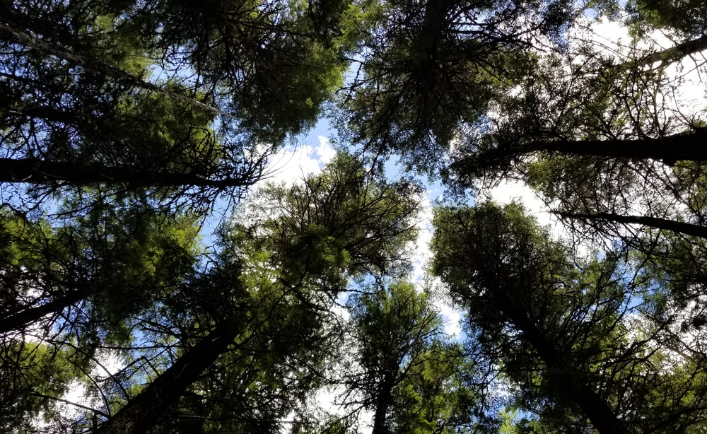 worms eye view of green trees during daytime