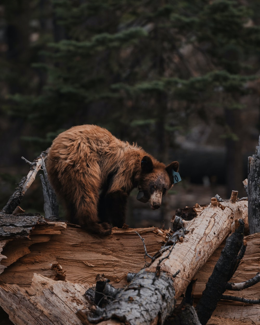 brown bear on brown tree trunk during daytime