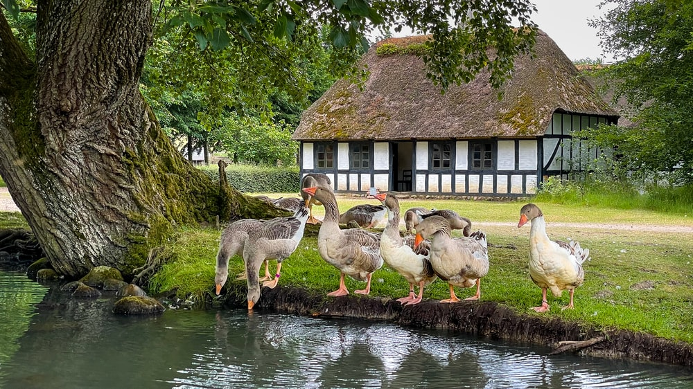 flock of geese on water near brown wooden house during daytime