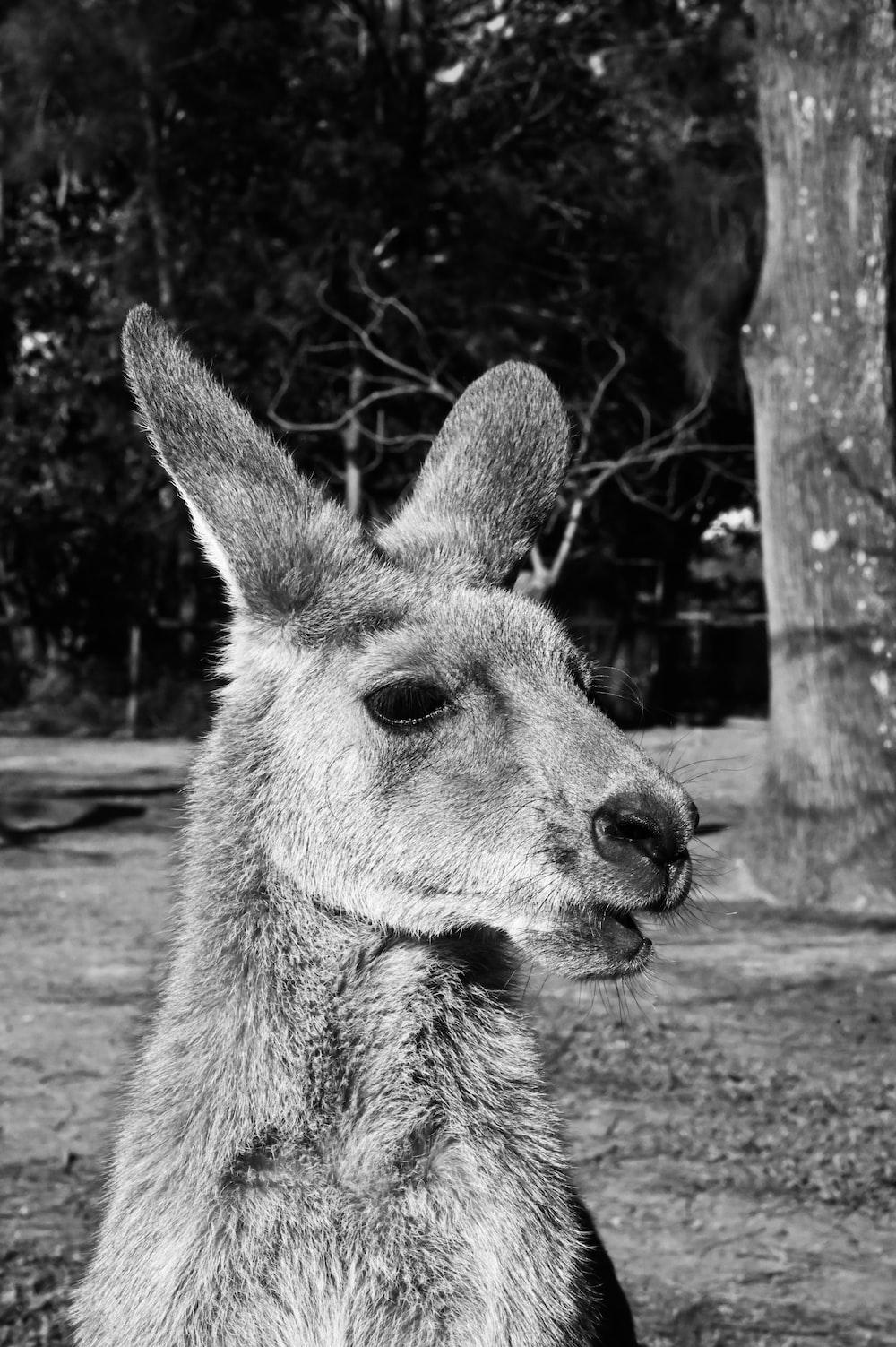 gray scale photo of kangaroo
