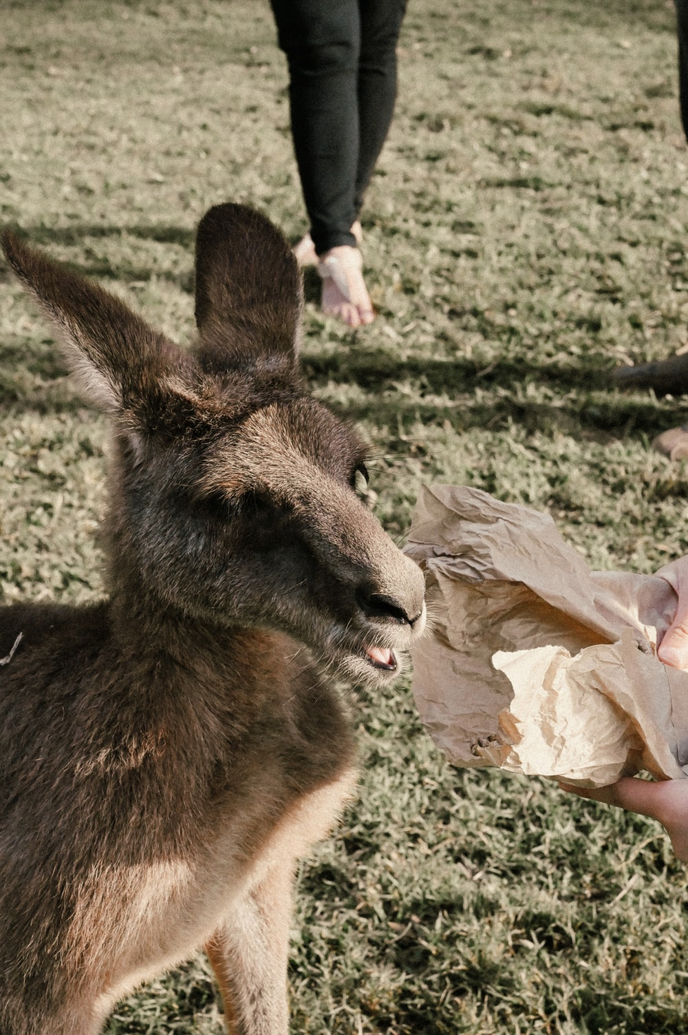 brown kangaroo on green grass during daytime