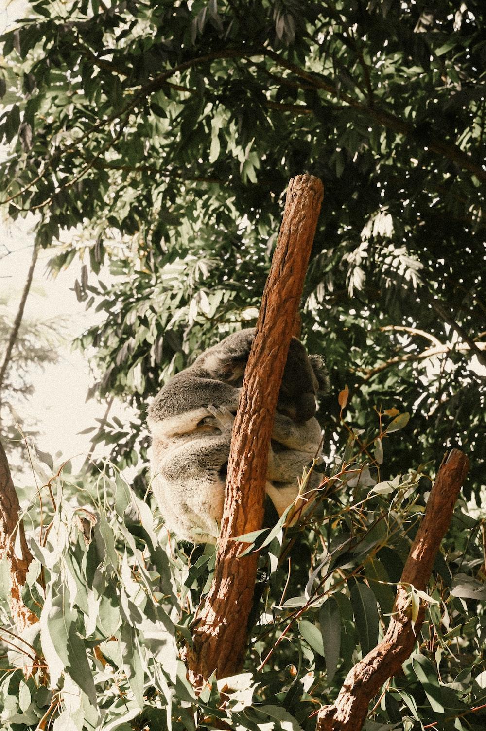 gray koala bear on brown tree branch