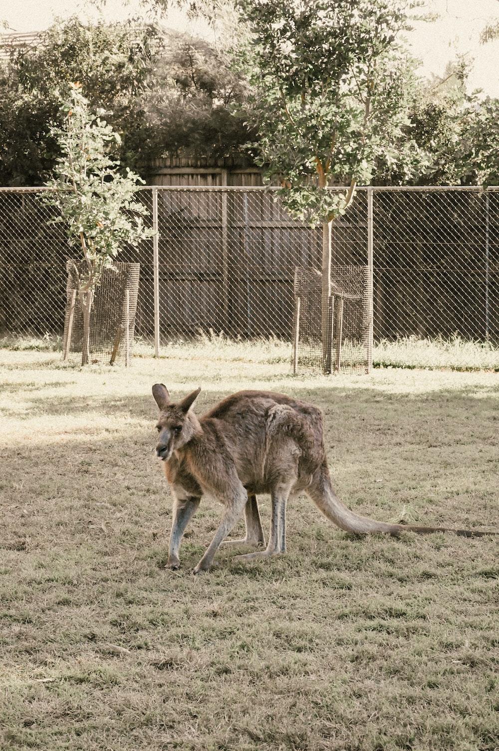 brown kangaroo on green grass field during daytime