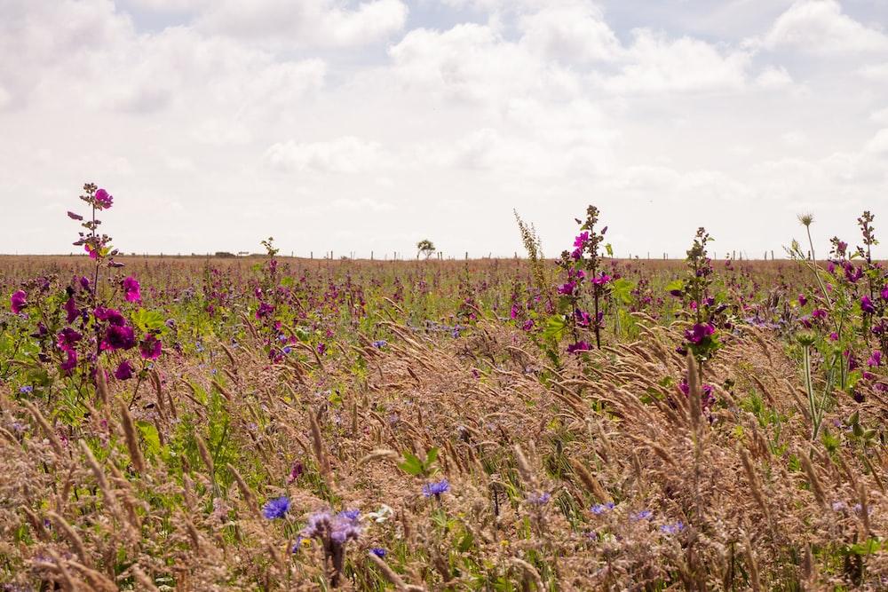 purple flower field under white clouds during daytime