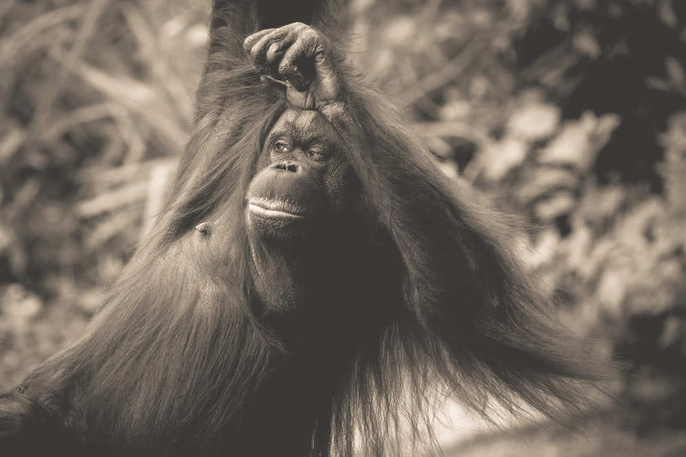 grayscale photo of gorilla in forest
