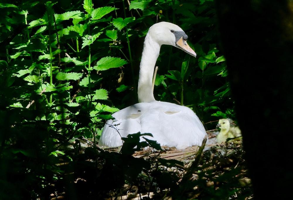 white swan on brown tree trunk