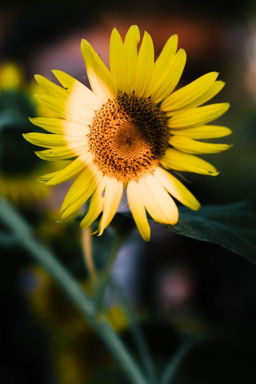 yellow sunflower in tilt shift lens