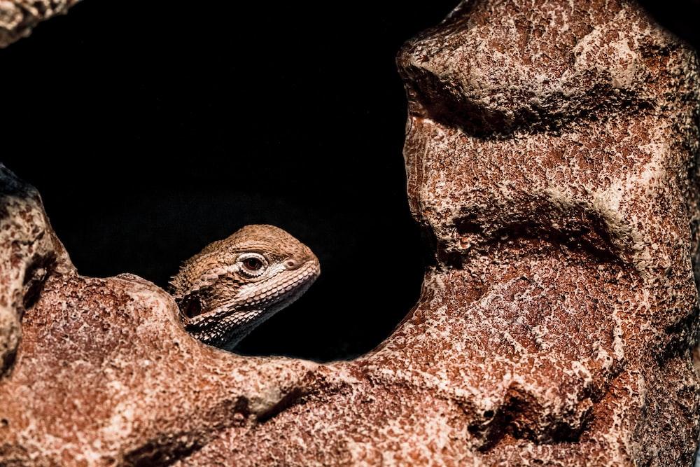 brown and black lizard on brown rock