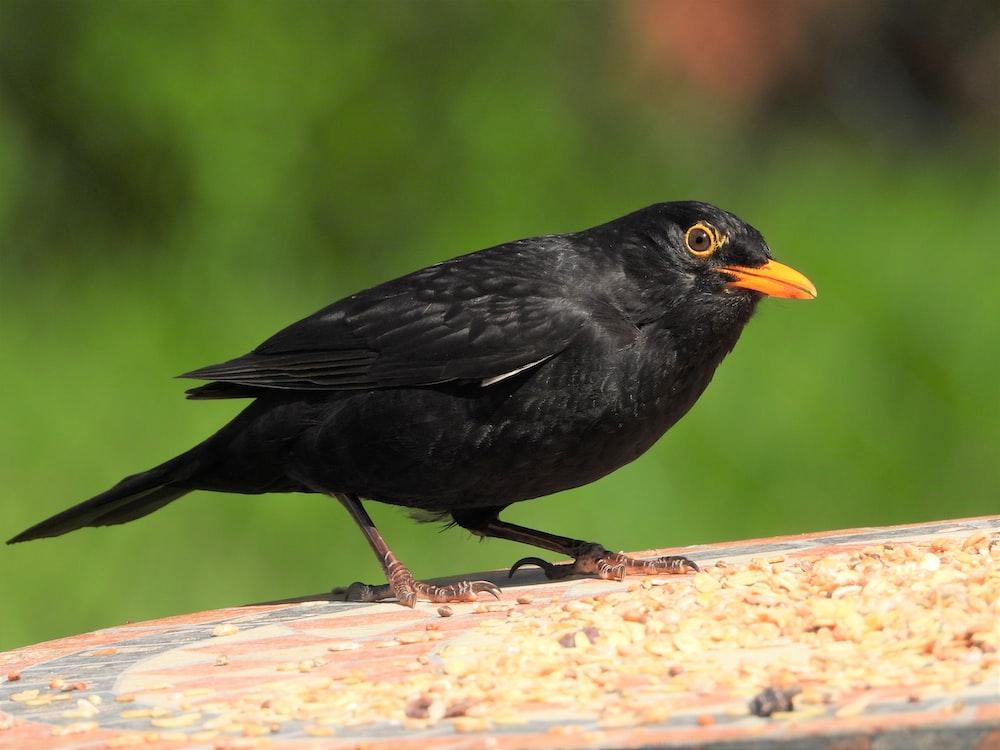 black bird on brown wooden surface