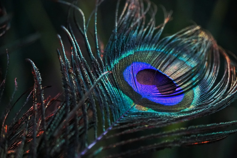 peacock feather in close up photography