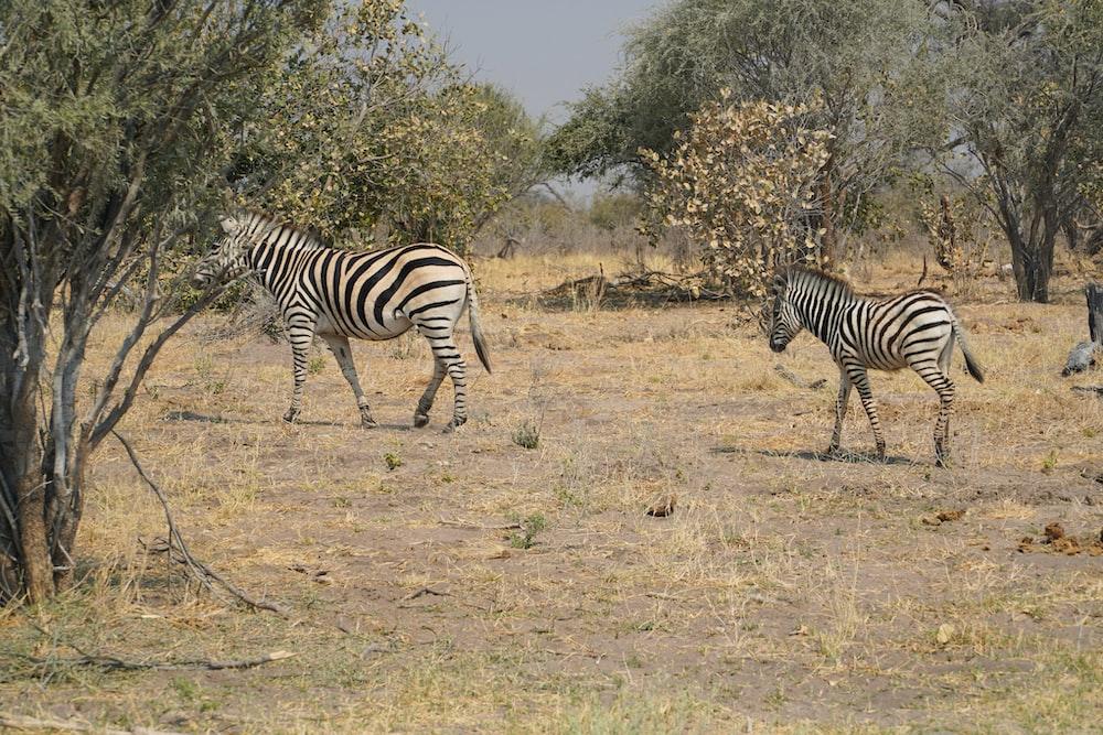 zebra standing on brown grass field during daytime