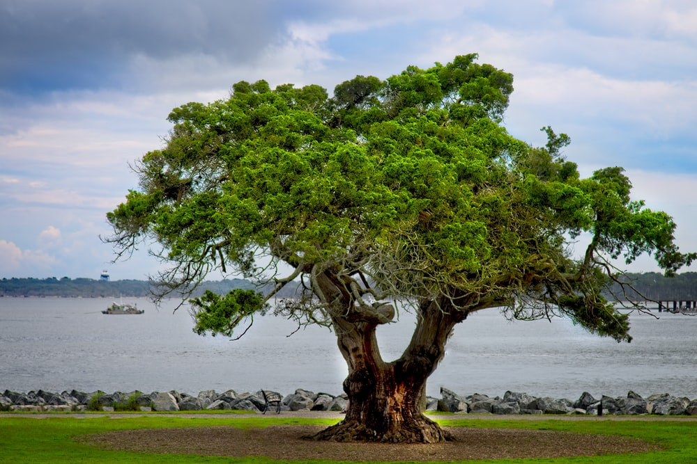green tree on brown field near body of water during daytime