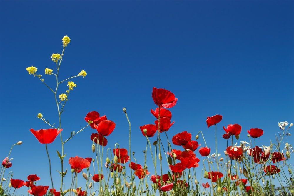 red and yellow flower field under blue sky during daytime
