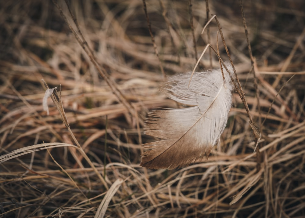 white feather on brown grass