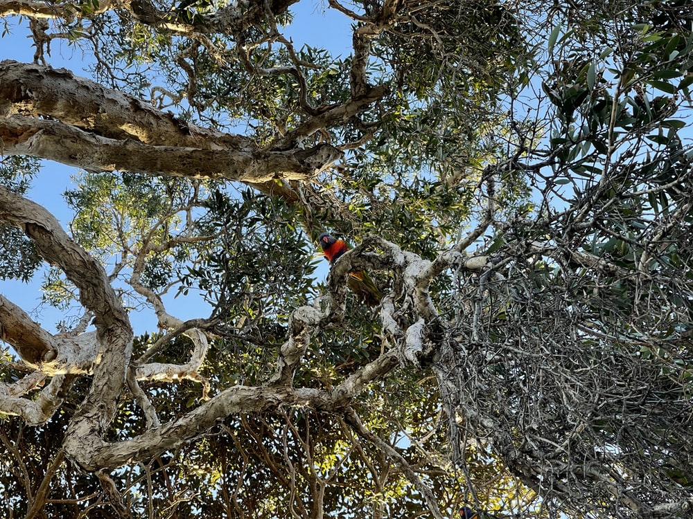 red and black bird on brown tree branch during daytime