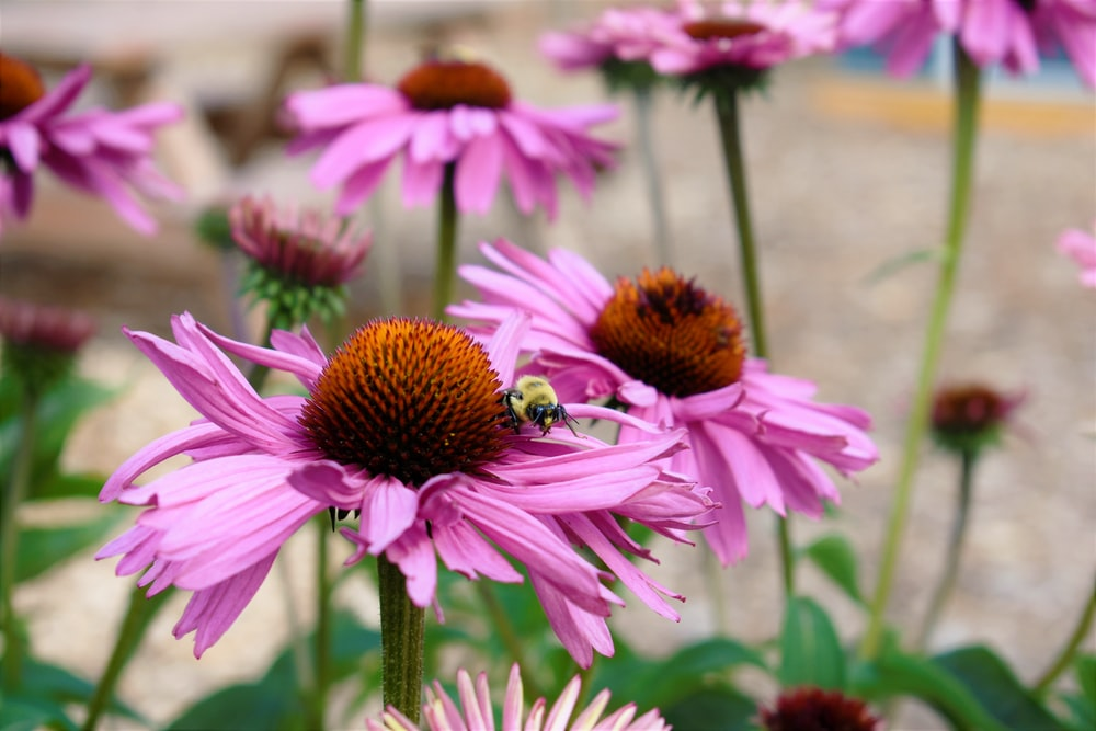 pink and white flower with bee
