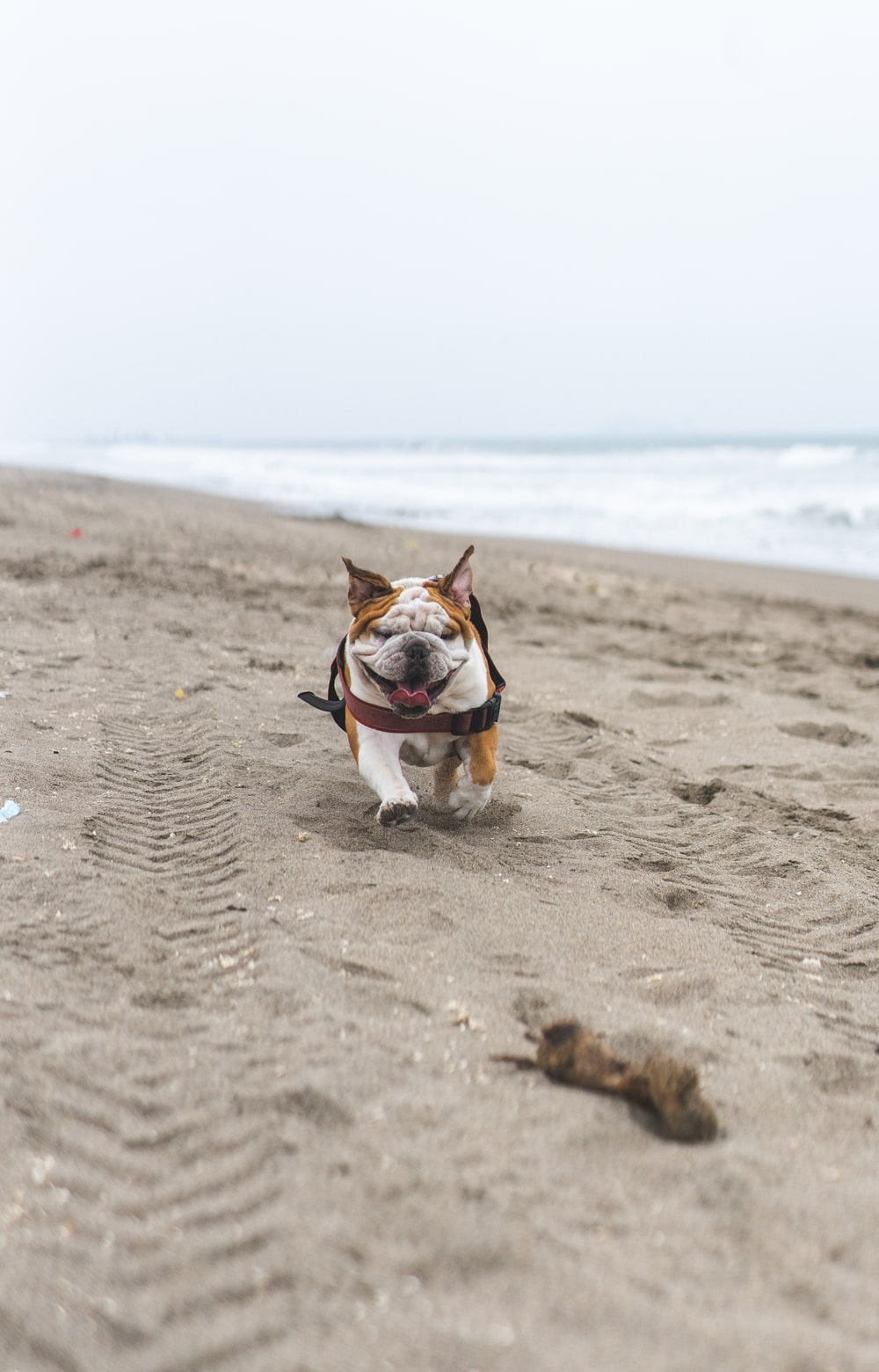 brown and white short coated dog running on beach during daytime