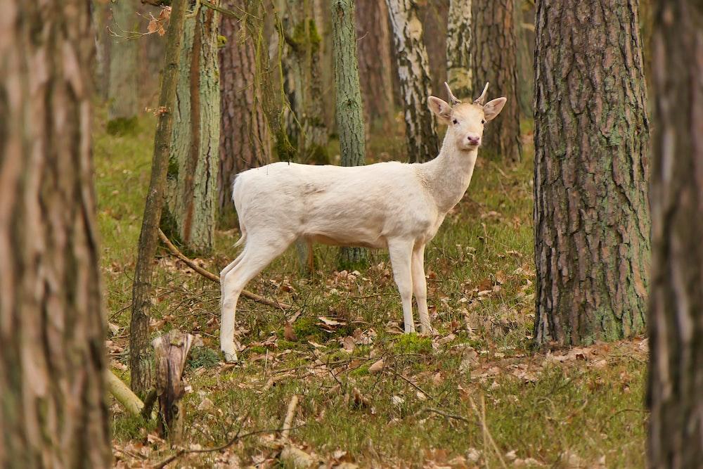 white goat on green grass field