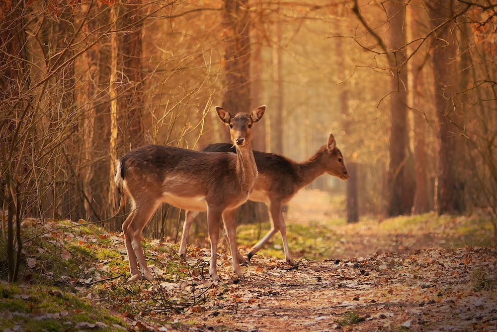 brown deer standing on brown grass during daytime